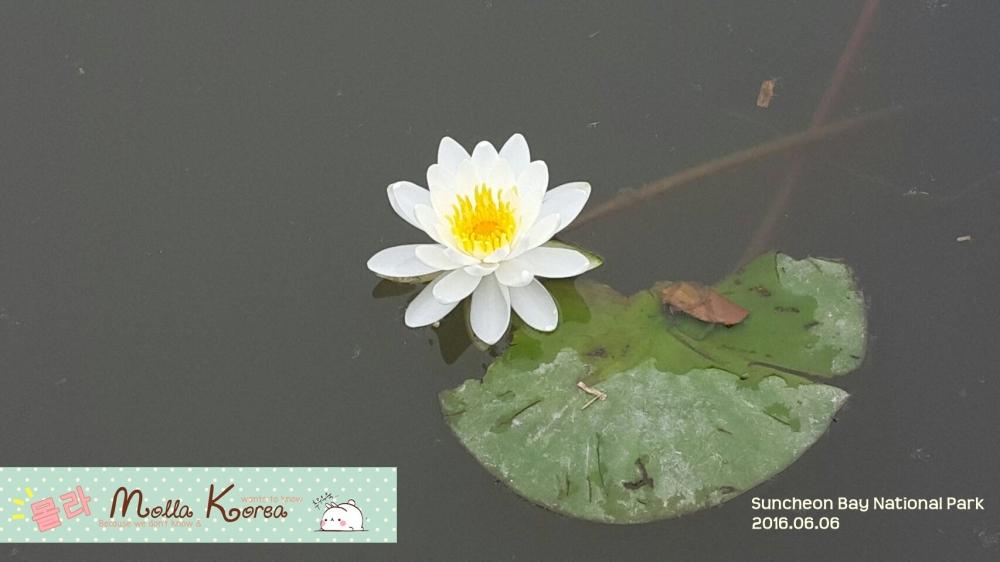 2016060 Water Lily Lotus Suncheon Bay National Park Molang Korea